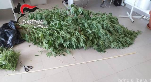 Mesagne. Detiene in casa 3 piante di marijuana e altri 69 grammi della stessa sostanza, arrestato.
